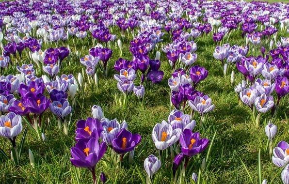 Picture spring, crocuses, saffron