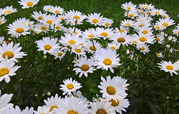 Цветы ромашки крупные