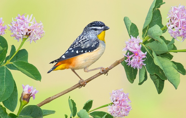 Picture bird, branch, flowers, Leopard rainbow bird