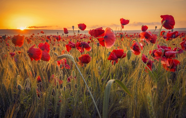 Picture field, the sun, sunset, flowers, nature, Maki