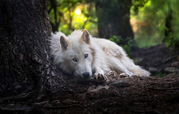 Picture forest, white, look, face, nature, pose, background, tree, wolf, lies, trunk, handsome, Arctic, polar