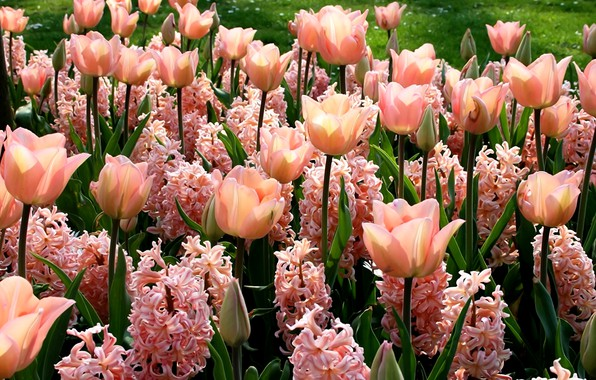 Picture flowers, green leaves, spring, tulips, buds, flowerbed, pink flowers, sunlight, hyacinths