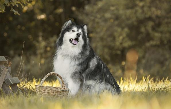 Photo wallpaper grass, dog, basket, bokeh