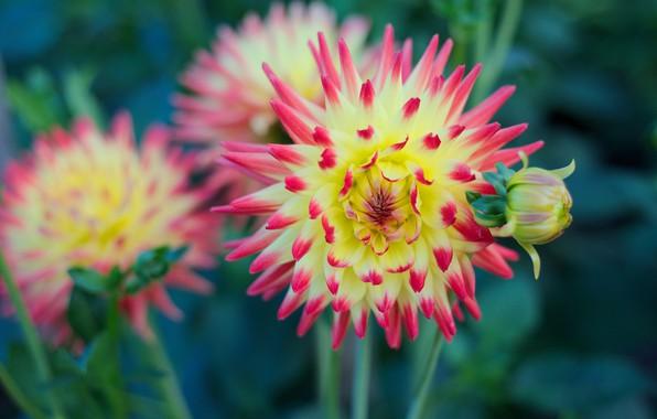 Picture petals, Bud, flowering, Dahlia