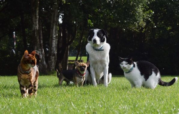 Picture greens, dogs, summer, grass, trees, cats, Park, lawn, Pets, Chihuahua, The border collie