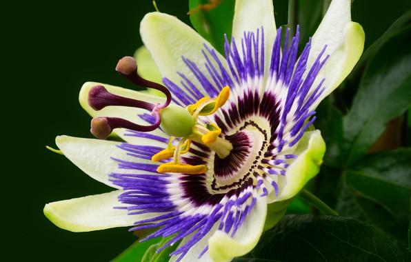Picture macro, petals, passionflower, passion flower