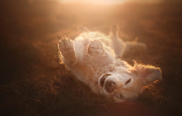 Picture joy, mood, dog, paws, bokeh, Golden Retriever, Golden Retriever