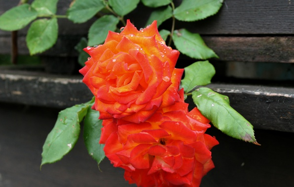 Picture Drops, Bokeh, Bokeh, Drops, Orange roses, Orange roses