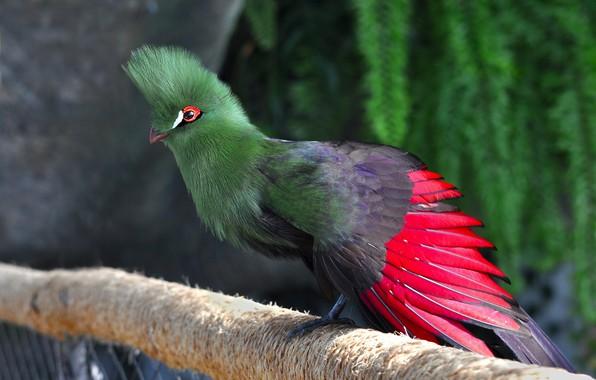 Picture birds, travel, Dubai, UAE, turako, green planet, the bio-dome, common turaco, bananoid