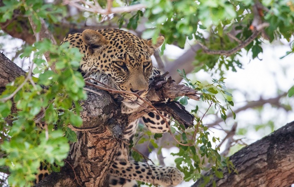 Picture face, stay, predator, leopard, wild cat, on the tree