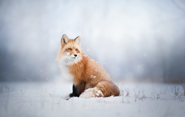 Picture winter, look, snow, Fox, Fox