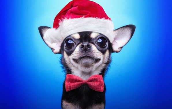 Picture dog, New Year, Christmas, Christmas, dog, 2018, Merry Christmas, Xmas, funny, cute, decoration, santa hat, …