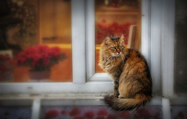 Picture cat, cat, look, glass, flowers, pose, house, frame, treatment, blur, window, walk, face, sitting, fluffy, …