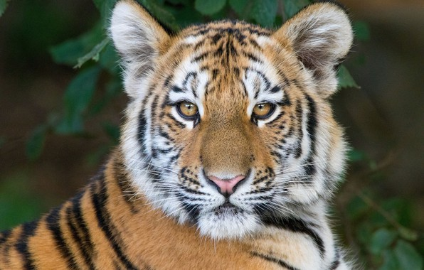 Picture look, face, tiger, portrait, tiger