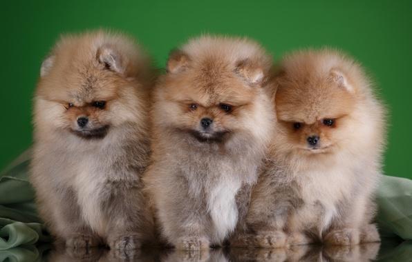 Picture puppies, trio, Spitz