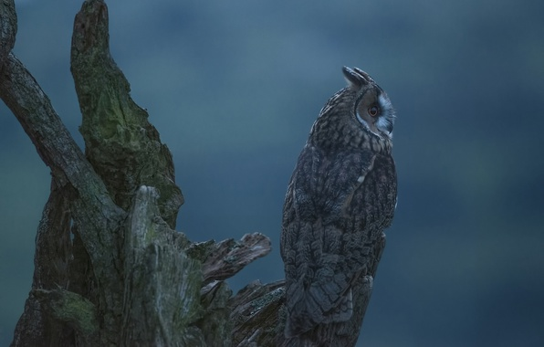 Picture background, owl, bird, snag, Long-eared owl