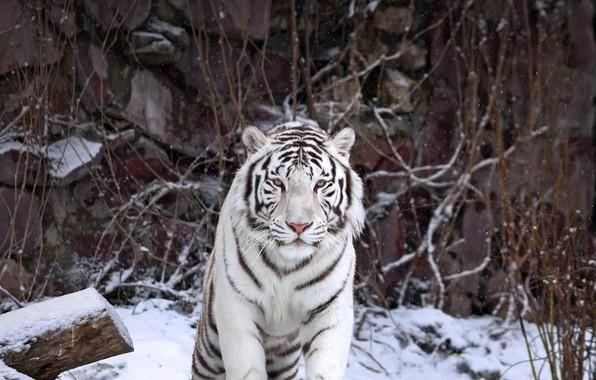 Photo wallpaper white tiger, predator, cat