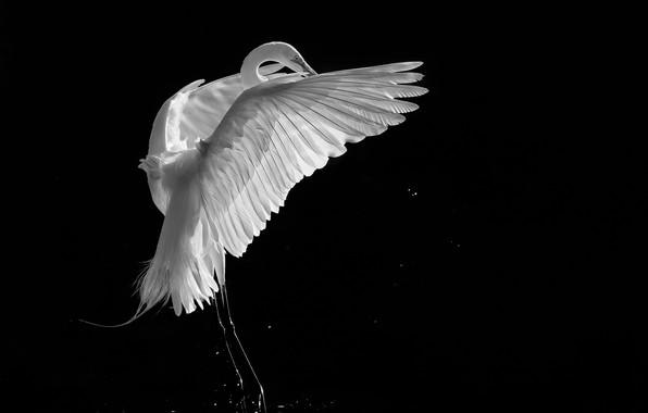 Picture background, black, bird, white, Heron, crane, black and white photo