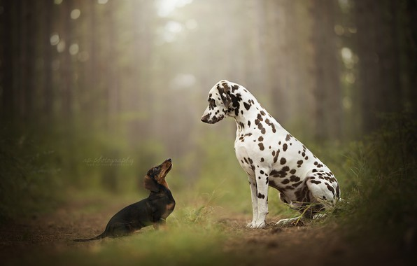 Picture forest, bokeh, two dogs, Dalmatian, Dachshund, peepers