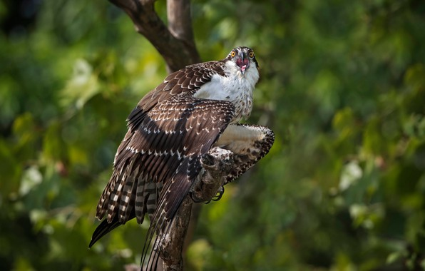 Picture tree, bird, bokeh, Osprey
