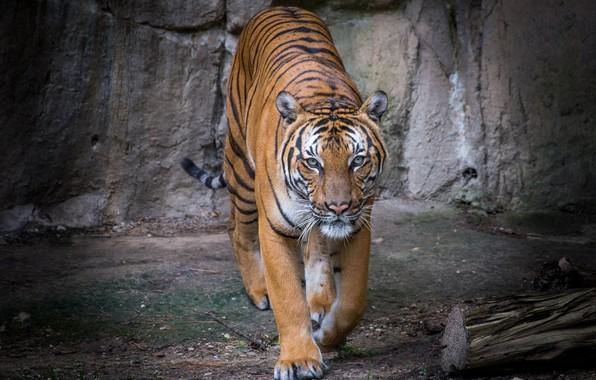 Picture tiger, predator, handsome