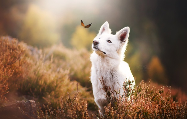 Picture nature, butterfly, dog