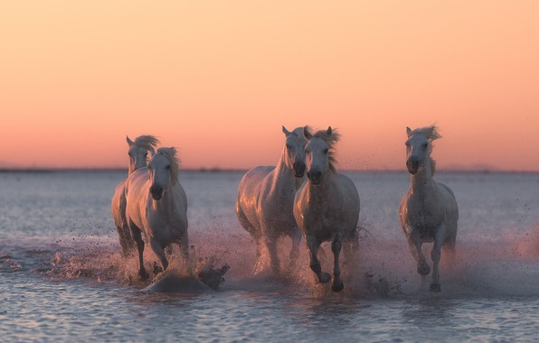 Picture water, sunset, squirt, horses, horse, running