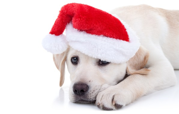 Picture dog, New Year, Christmas, Labrador, Christmas, dog, cap, 2018, Merry Christmas, Xmas, funny, cute, decoration, …