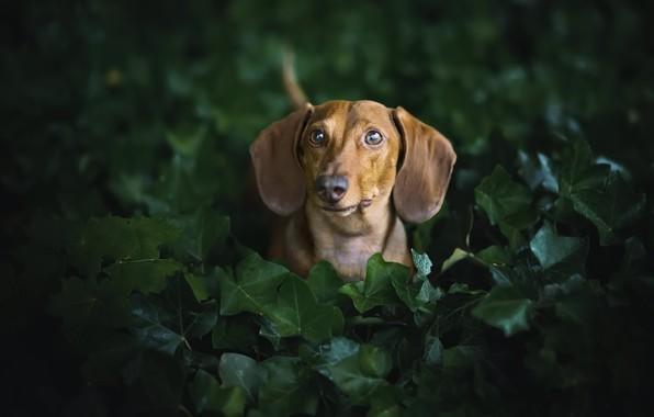 Picture each, dog, Dachshund
