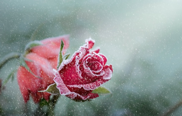 Picture flower, snow, rose