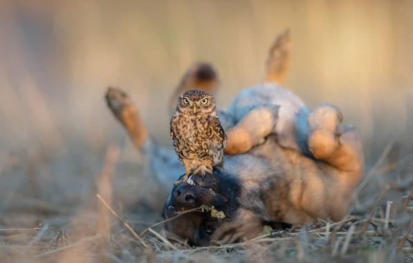 Picture animals, grass, nature, owl, bird, dog, blur, friendship, lies, a couple, Belgian shepherd