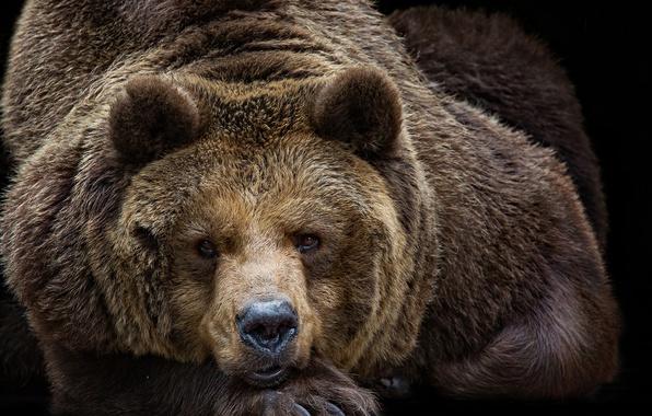 Picture look, portrait, bear, the Bruins