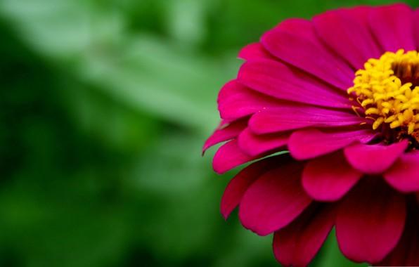 Picture macro, petals, zinnia