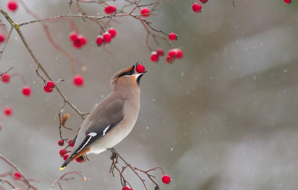 Picture winter, branches, berries, bird, the Waxwing