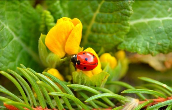 Picture ladybug, Flowers, Flowers