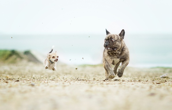 Picture dogs, Chihuahua, French bulldog, catch-up, the horror in the eyes