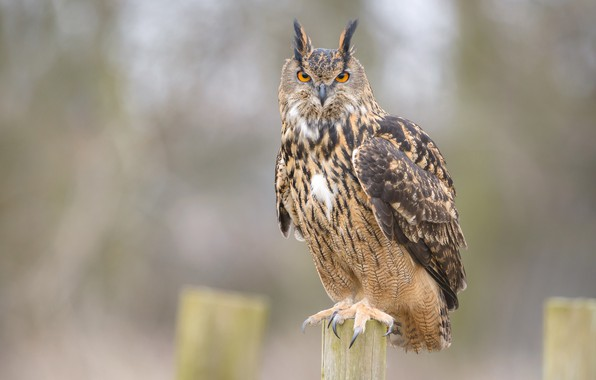 Picture look, nature, fog, background, owl, bird, the fence, sitting, owl, tail, blurred, motley
