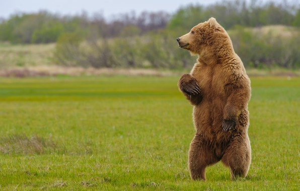 Picture bear, beast, stand, Grizzly