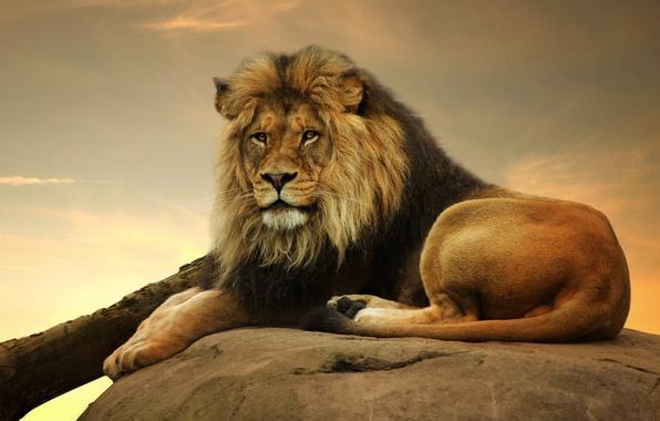 Picture look, predator, Leo, king, mane