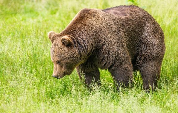 Picture greens, field, grass, bear, brown