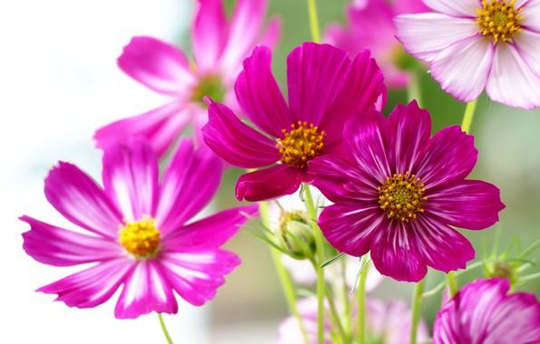 Picture space, macro, petals, kosmeya