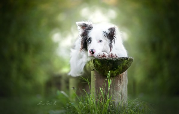 Picture grass, look, dog, bench, bokeh, The border collie