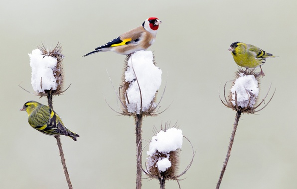 Picture winter, snow, birds, Germany, goldfinch, Thistle, Chizh