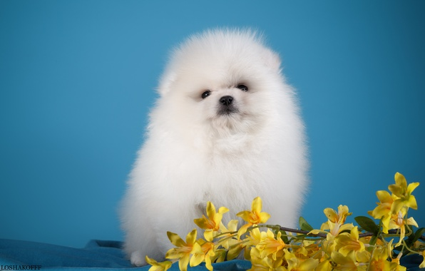 Picture white, flowers, puppy, Spitz
