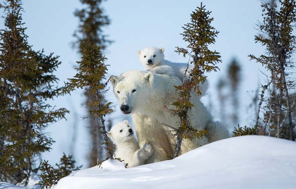 Picture winter, snow, bears, polar bears, bear, motherhood, polar bears