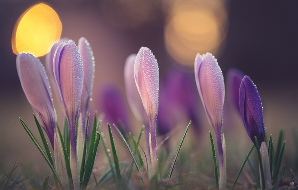Picture macro, Rosa, spring, crocuses, buds, bokeh, saffron