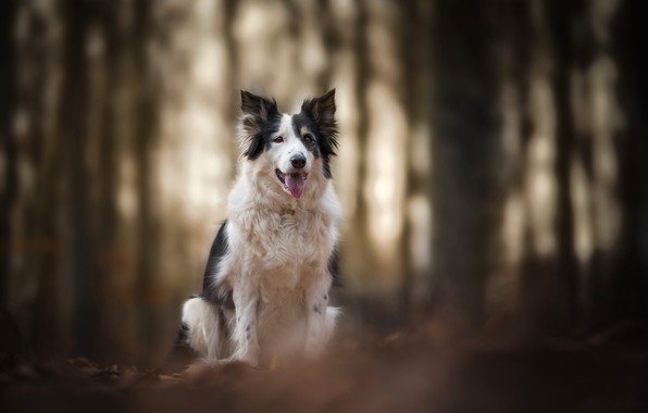 Picture nature, dog, Border collie