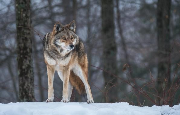 Picture pose, wolf, predator, attention, alertness
