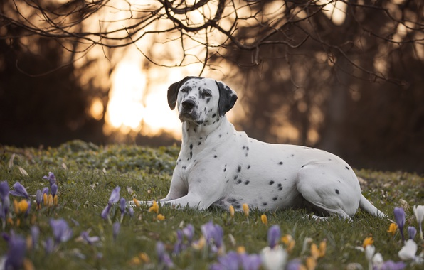 Photo Wallpaper Flowers Branches Nature Dog Crocuses Dalmatian