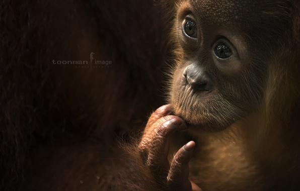 Picture look, monkey, Baby Orang Utah